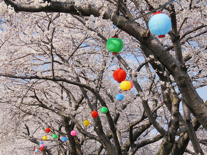 満開の舟川べりの桜並木とカラフルな提灯