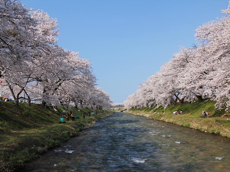 川縁の桜並木(朝日町舟川べり)