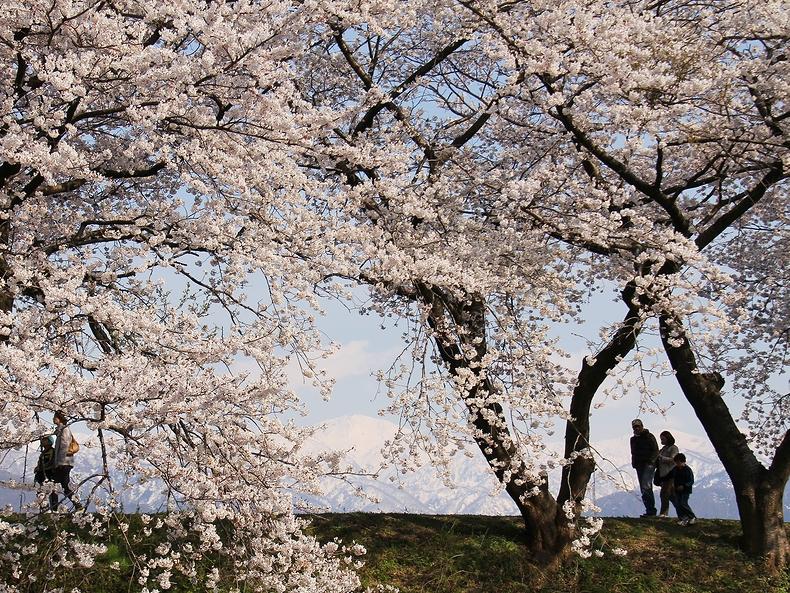 桜の向こうに雪を戴いた白馬連峰