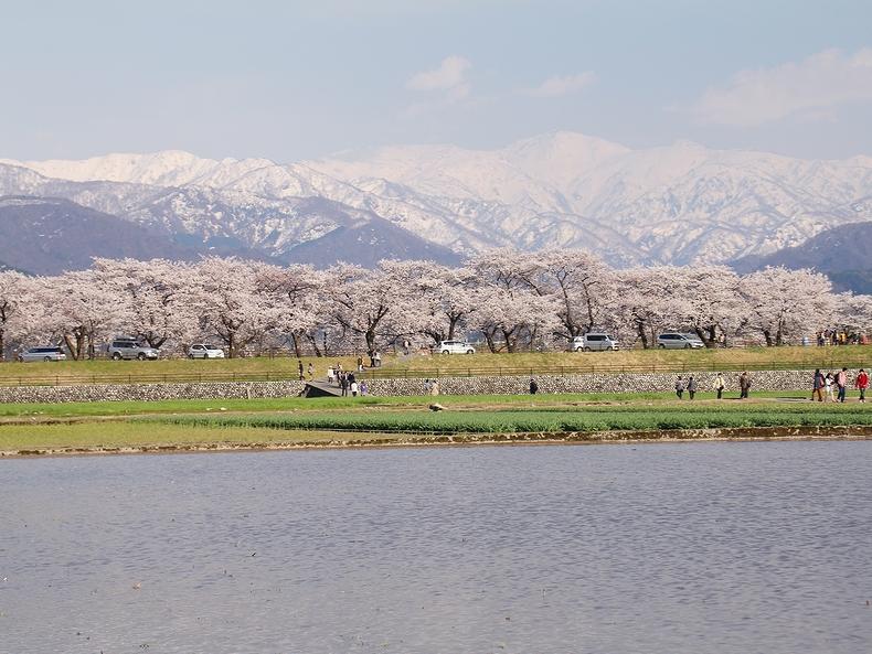 川べりの桜並木と北アルプスの峰々(富山県朝日町にて)