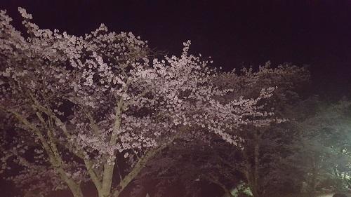 20170411_夜桜1