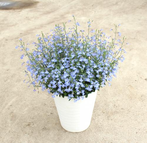 ロベリア 空色てふてふ 青空ブルー 松原園芸