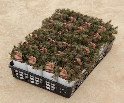 セダム チョコレートボール 多肉植物 松原園芸