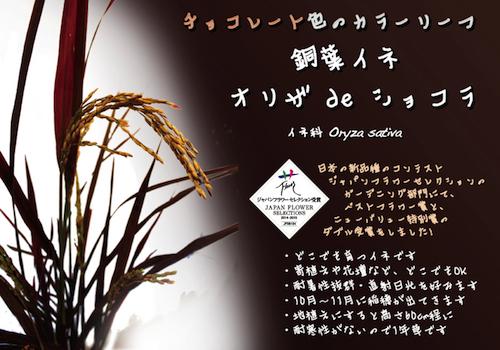 銅葉イネ オリザ de ショコラ 松原園芸