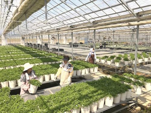 カリブラコア 松原園芸