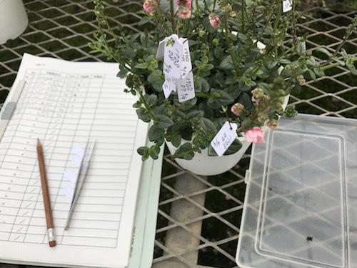 交配 育種 松原園芸