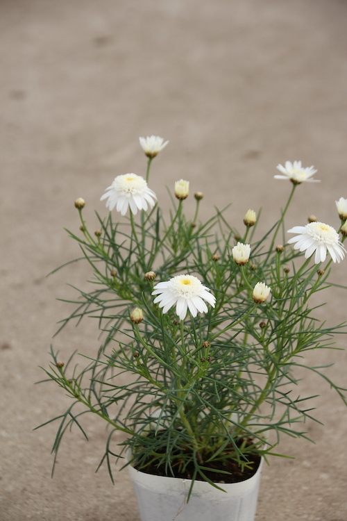 ダブルチェルシーガール 松原園芸オリジナル マーガレット 八重咲きチェルシーガール 糸葉マーガレット