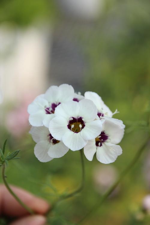 Gilia tricolor ギリア 松原園芸