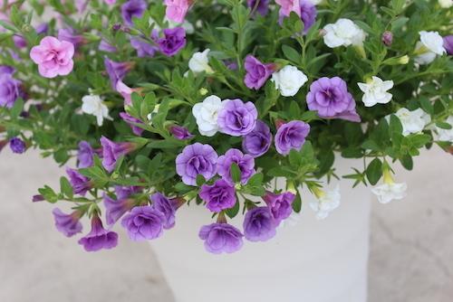 カリブラコア ティエルノ 八重咲き 鉢花 松原園芸
