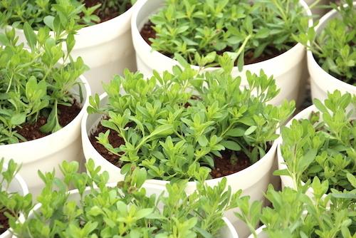 カリブラコア 生産 松原園芸