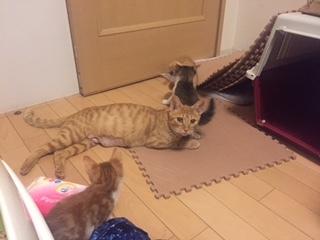 子猫の中の茶色ママカメラ目線
