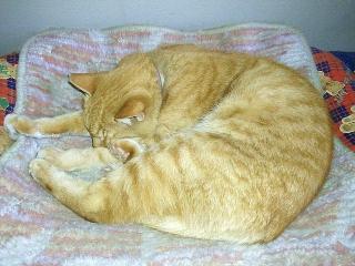 170210_4448 ホット座布団の上で万歳して寝ているトラ美ちゃんVGA