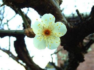170212_4455 ご近所の庭に咲いていた梅の花VGA