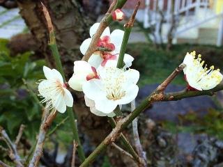 170228_4474 ご近所の庭に咲いた白梅VGA