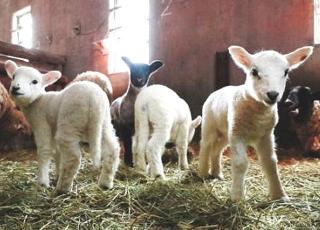 170310「六甲山牧場」羊の出産ラッシュ m_kobe-20170310013_640x460