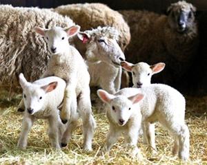 170316「六甲山牧場」羊の出産ラッシュ AS20170314000758_commL_640x512