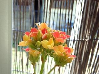 170327_4523 ベランダのカランコエの花VGA