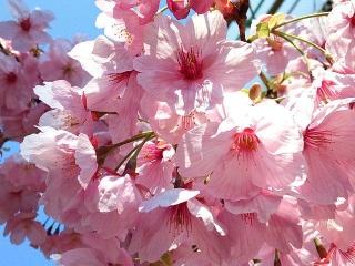 170403_4530 ご近所で咲いていた「河津櫻」・・かもVGA