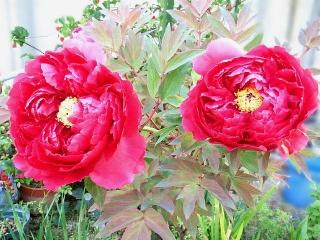 170421_4605 家の周りの花壇に咲いていた牡丹?VGA