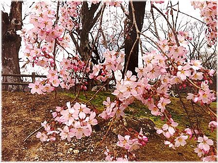 [20170415]懐古園桜