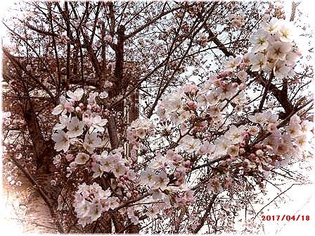 [20170418]桜さく。