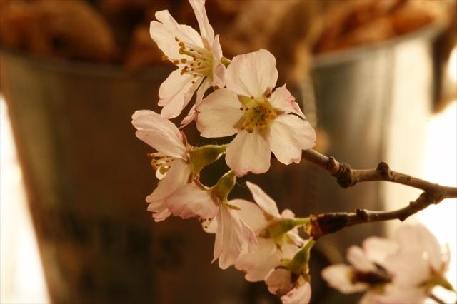 啓翁桜-1