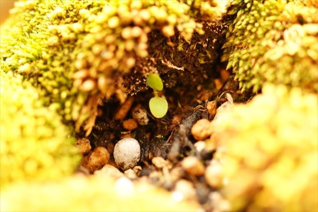 何かが芽を出した盆栽