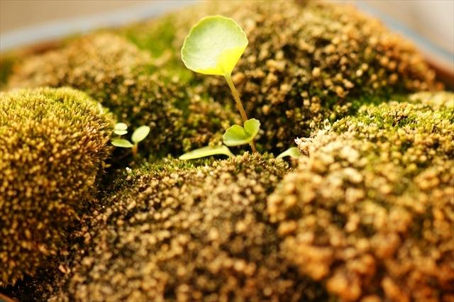 スミレの盆栽