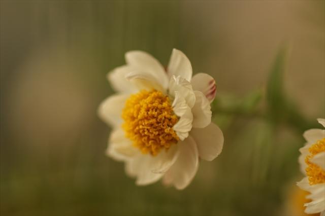 花かんざし ヘリプテラム