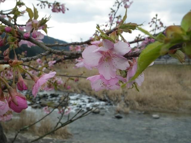ホタルの里公園の河津桜-1