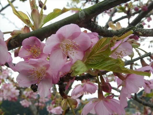 ホタルの里公園の河津桜-2