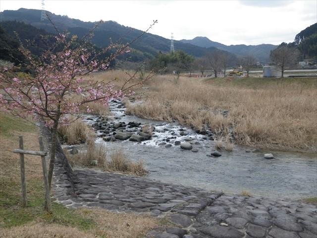 ホタルの里公園の河津桜-3