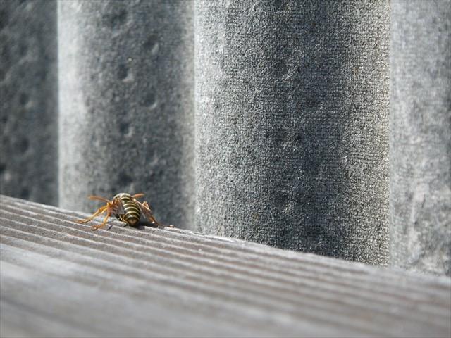 アシナガバチ-1