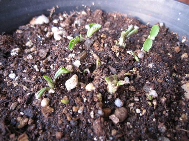 タチツボスミレの芽