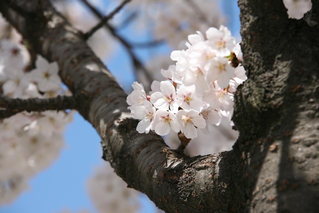 cherry-blossom-1308847_1280.jpg