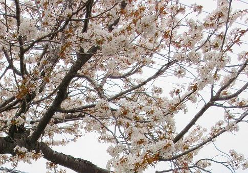 桜~ 17.4.15