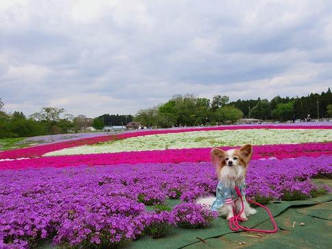 芝桜と~ 17.4.24
