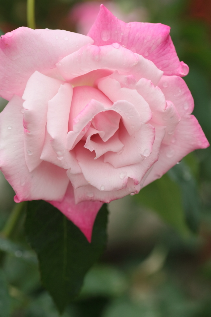 Rosa Lady Luck