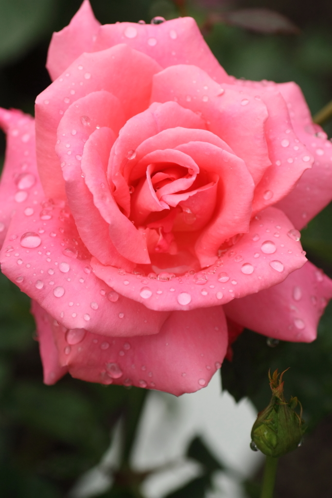 Rosa'Hoh-Jun'