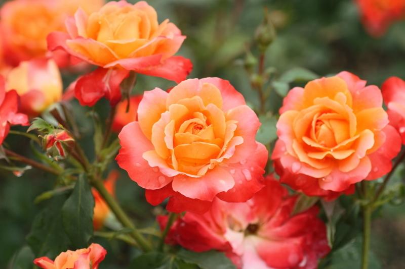 Rosa Fruite