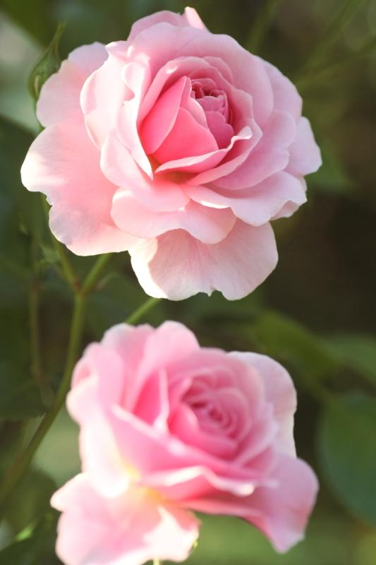 Rosa Pink Stream