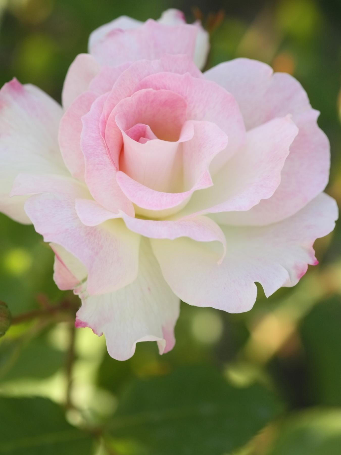 Rosa Matilda