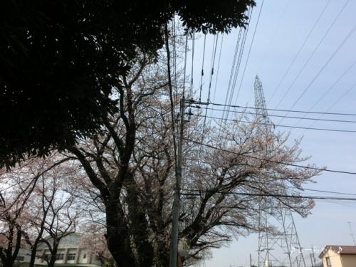 籠原界隈の桜_01