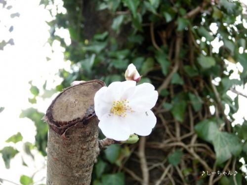 籠原界隈の桜_03