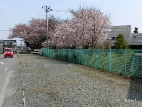 籠原界隈の桜_04