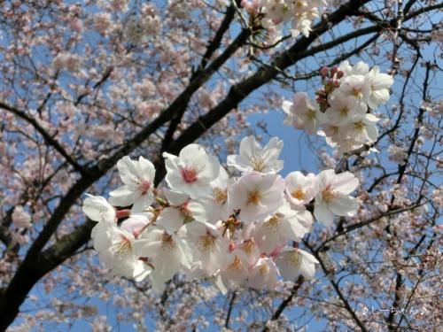 荒川土手の桜・2017_01