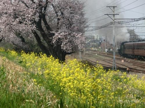荒川土手の桜・2017_04