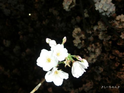 荒川土手の桜・2017_12
