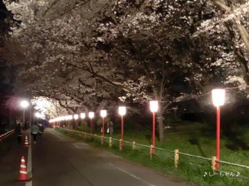 荒川土手の桜・2017_13