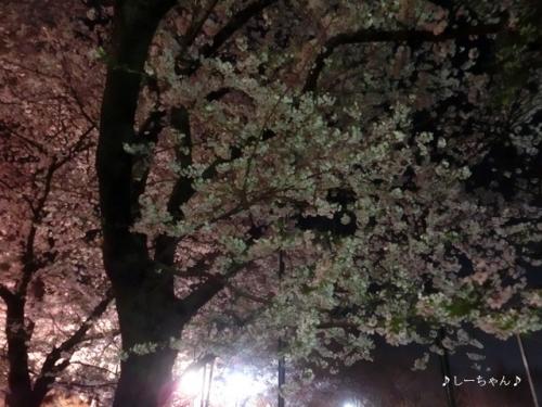 荒川公園の桜_01